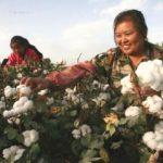 Xinjiang-cotton-production-336x239