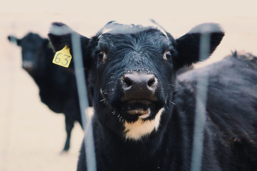 Livestock farming is bad for people and planet